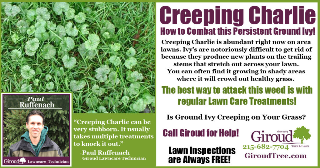 Creeping Charlie-Ground Ivy- lawn care