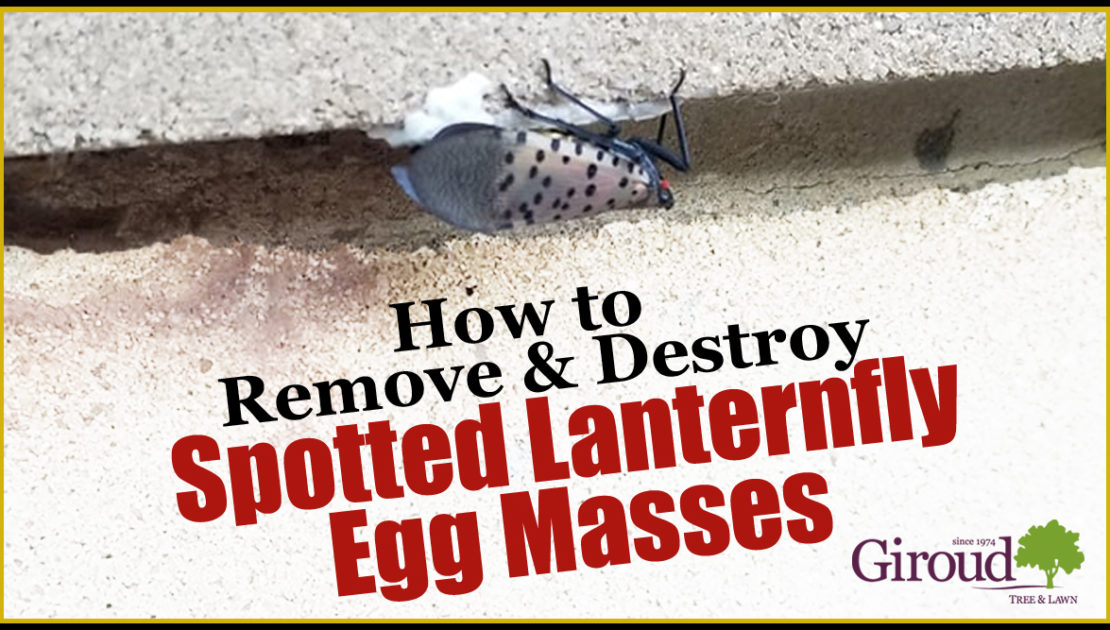 How to remove and destroy spotted lanternfly egg masses