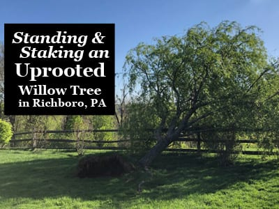 Staking an uprooted tree