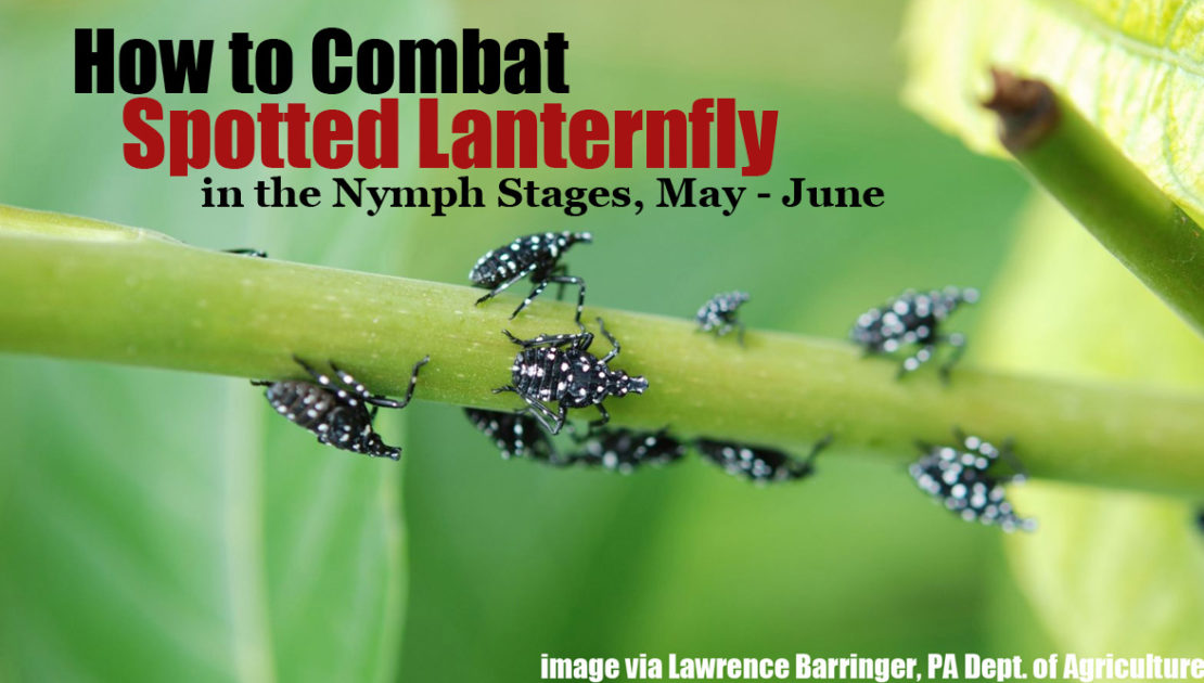 How to combat spotted lanternfly nymphs