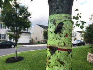 Sticky bands on trees to trap spotted lanternfly nymphs. These bands are too wide. Bands should be cut in half to avoid accidentally trapping small animals and birds.