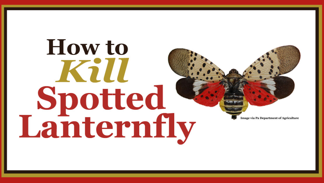 How to Kill Spotted Lanternfly